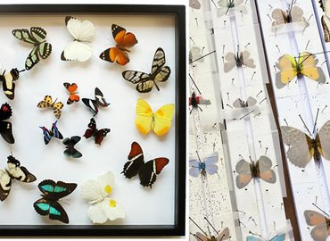 Insect Taxidermy: Butterfly Setting & Preservation